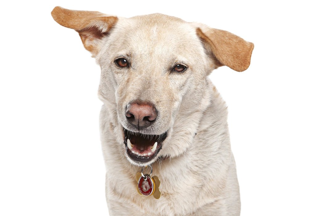 Yellow Lab with mouth open