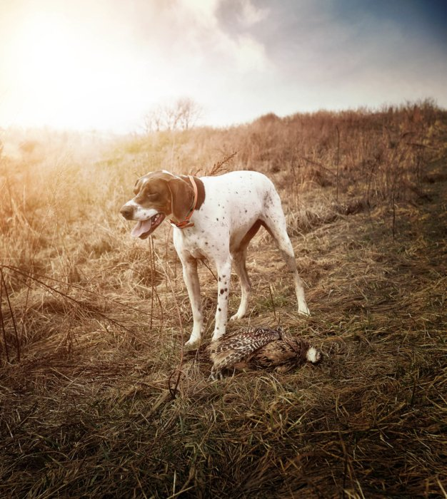 A bird hunting dog with a fresh quail - outdoor hunting photography