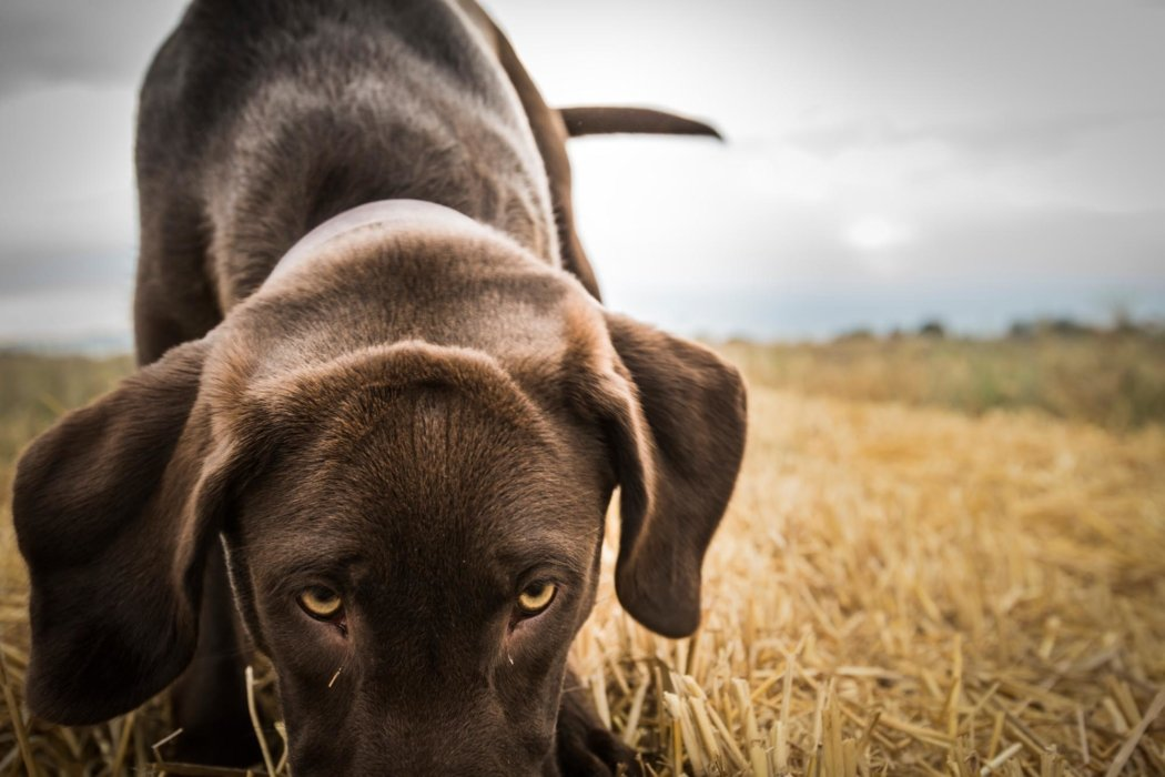 Hunting dog outdoor sniffing