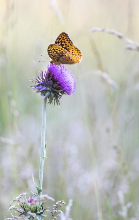 Rick conner's butterfly on a thistle