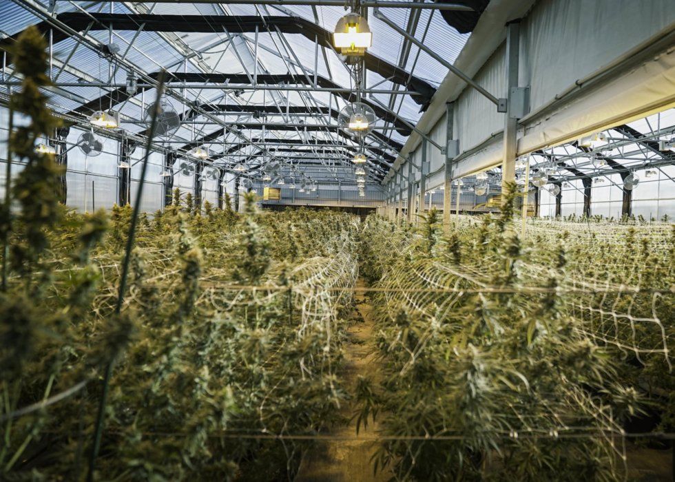 Greenhouse of row of growing cannabis travel photography