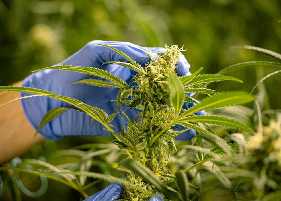 Person with glove picking out strain cbd nature photgraphy