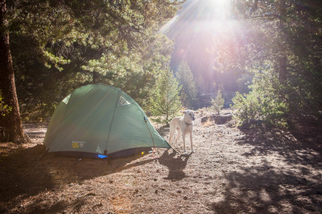 A dog at a campsite near a green tent in a pine forest.