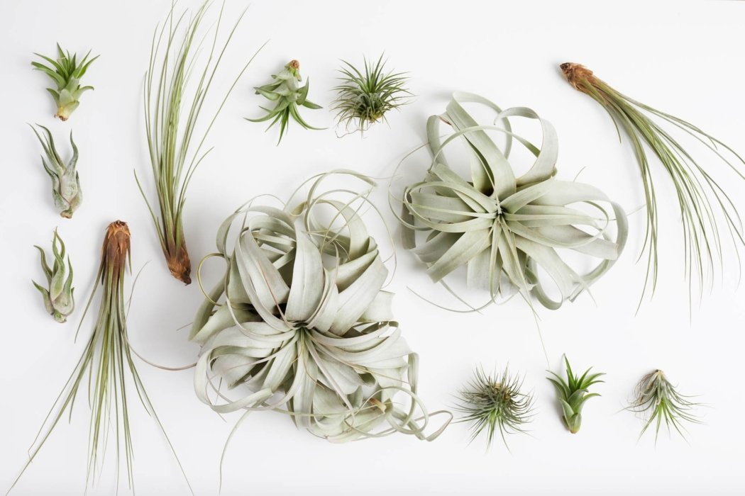A variety of air plants