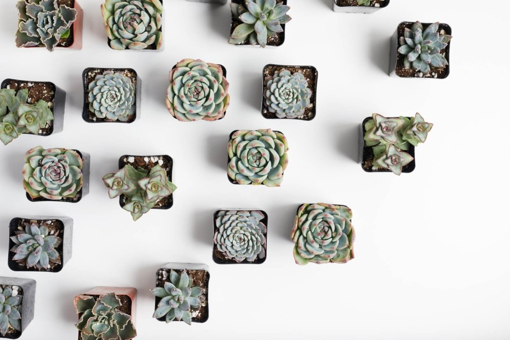 A grid link arrangement of succulents ready to buy
