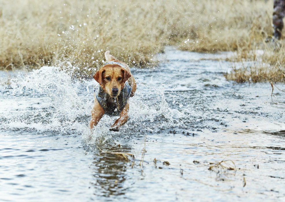 A dog running through the water while training to be a duck dog