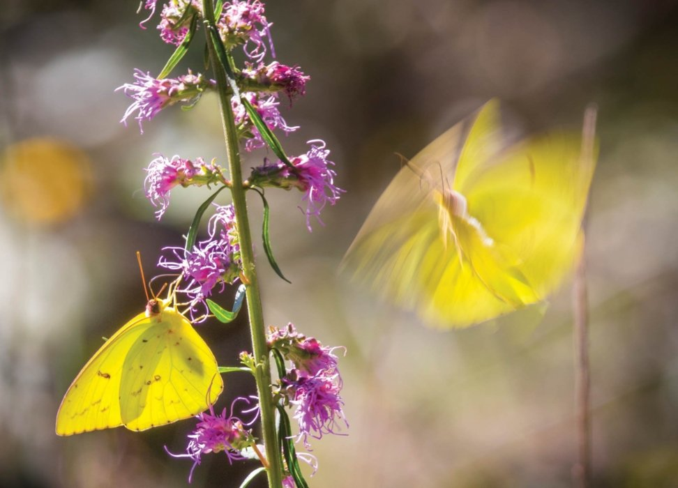 Yellow Butterflies landing on plant - Nature photography