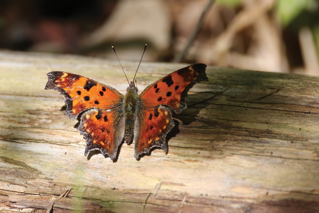A question mark butterfly perched on a log - nature photography