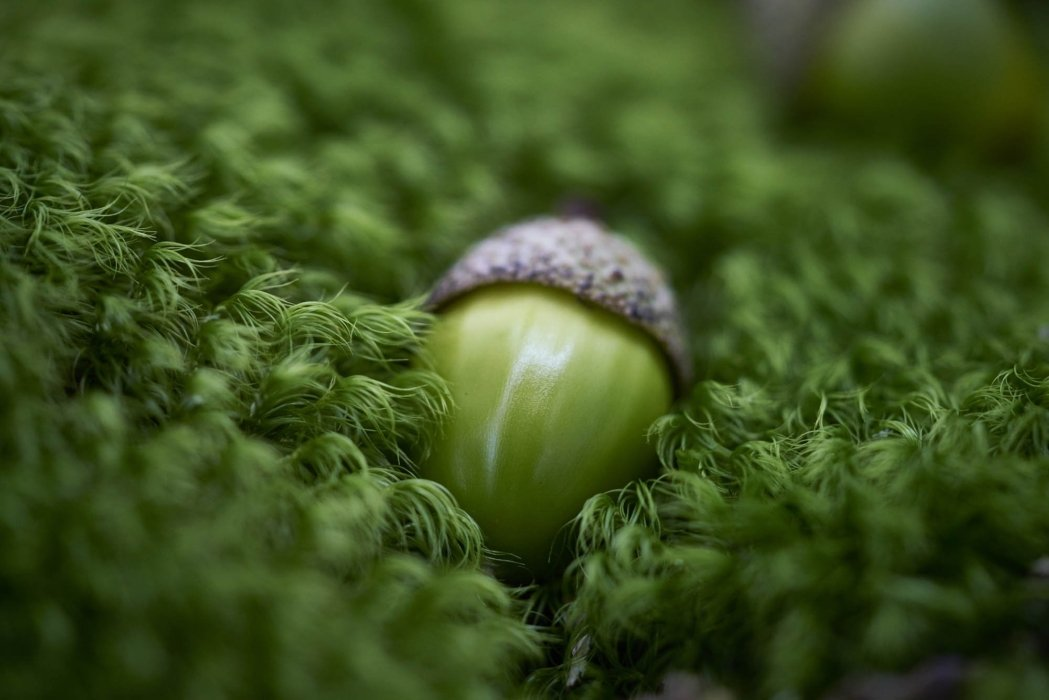 a green acorn nestled in a green moss - nature photography