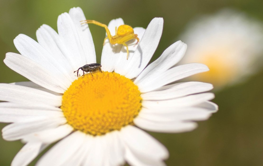 A yellow spider attacking a weevil - Nature photography