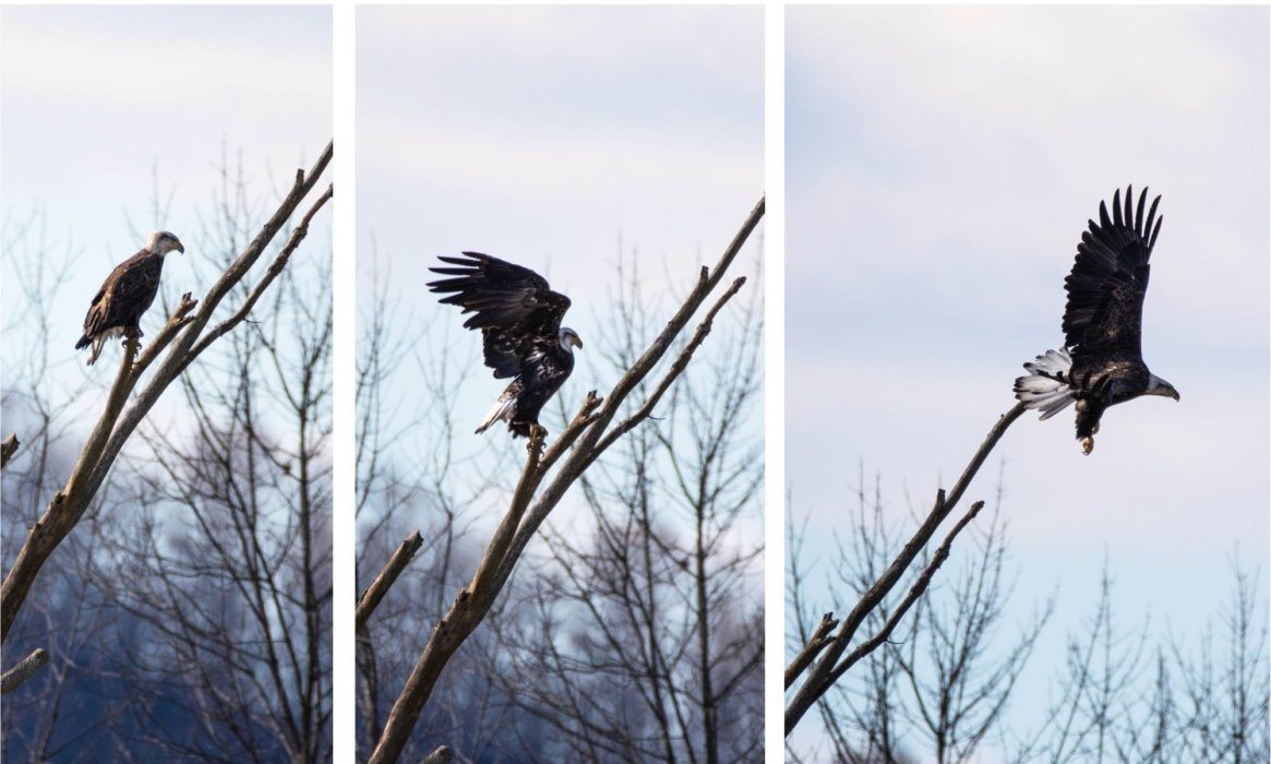 An eagle takes flight - nature photography