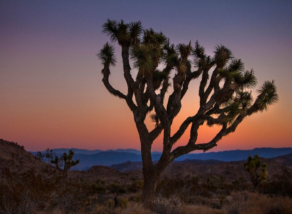 A Joshua tree in the desert - travel photography